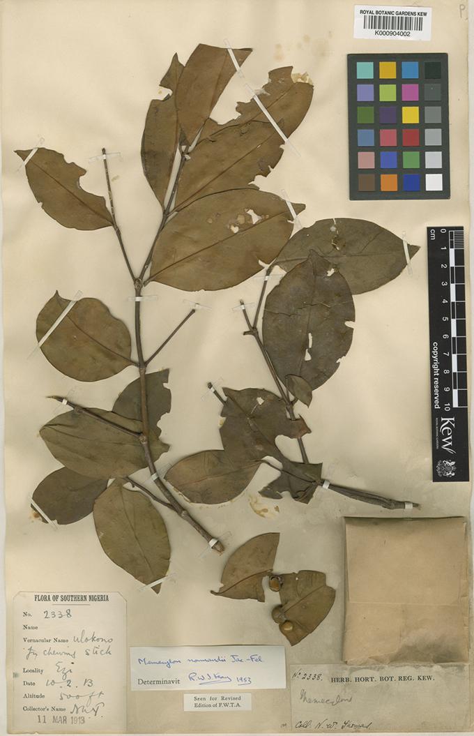 NWT Botanical Specimen, Memecylon normandii, Ezi, 1913