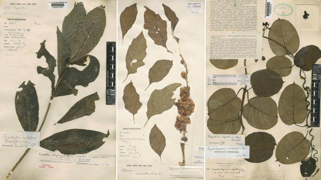 NorthcoteThomas Flora of Southern Nigeria Herbarium Specimens